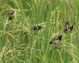 Download 99 Foto Gambar Burung Pipit Di Sawah HD Paling Unik