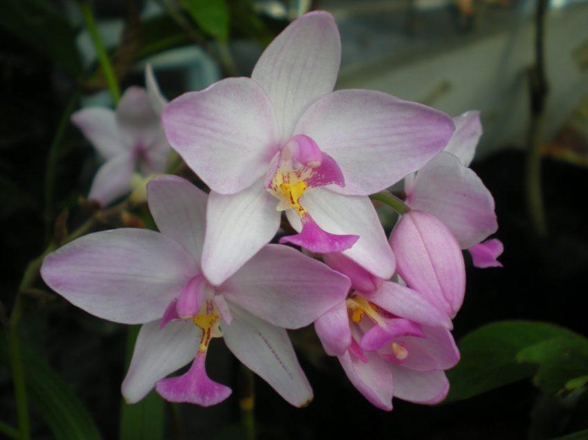 Kenapa Daun Orkid Layu? Inilah Penyebab dan Cara Mengatasinya
