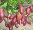 15 Cara Merawat Tanaman Kakao agar Berbuah Lebat