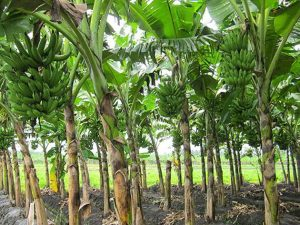 Cara Merawat Pohon Pisang Agar Berbuah Besar dan Subur