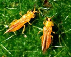 3 Cara Mengatasi Hama Serangga pada Tanaman Cabai