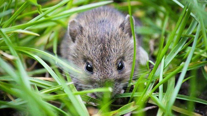 8 Cara Membasmi Hama Tikus di Sawah Paling Ampuh