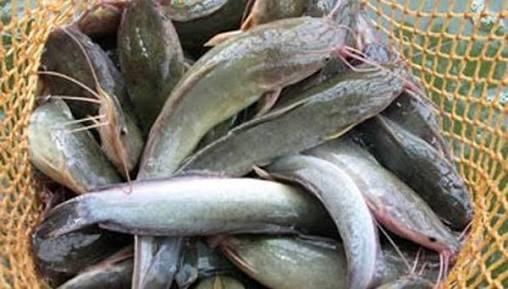 5 Cara Budidaya Ikan Lele Sistem Boster Bagi Pemula
