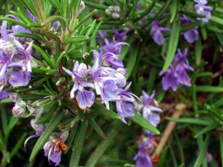 5 Cara Menanam Bunga Rosemary di Rumah