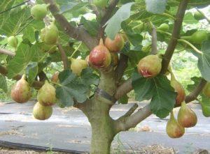 buah pohon tin 300x221 - Jenis Buah Tin Yang Paling Bagus