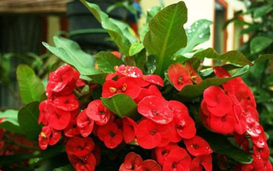 3 Cara Stek Bunga Euphorbia dan Perawatannya
