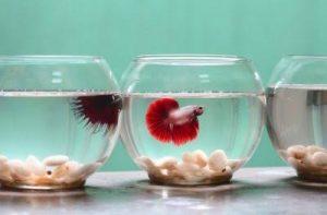 5 Cara Budidaya Ikan Cupang Di Akuarium Yang Benar