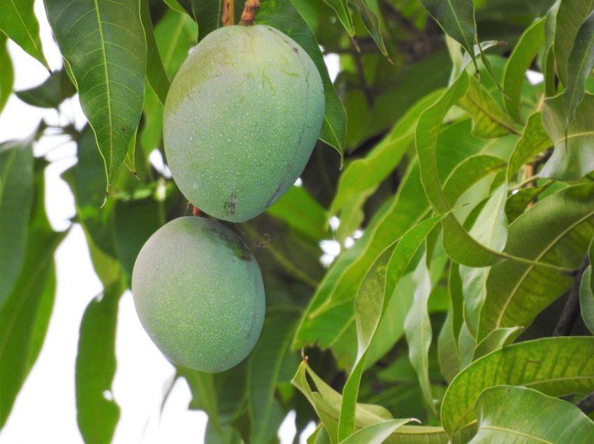 5 Cara Menanam Mangga Apel dalam Pot
