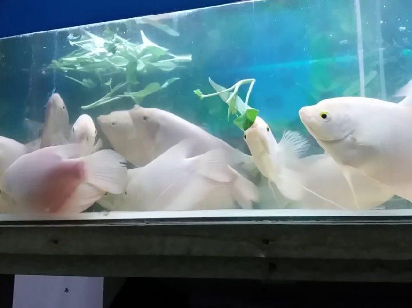 6 Cara Budidaya Ikan Gurame di Akuarium Serta Cara Merawatnya