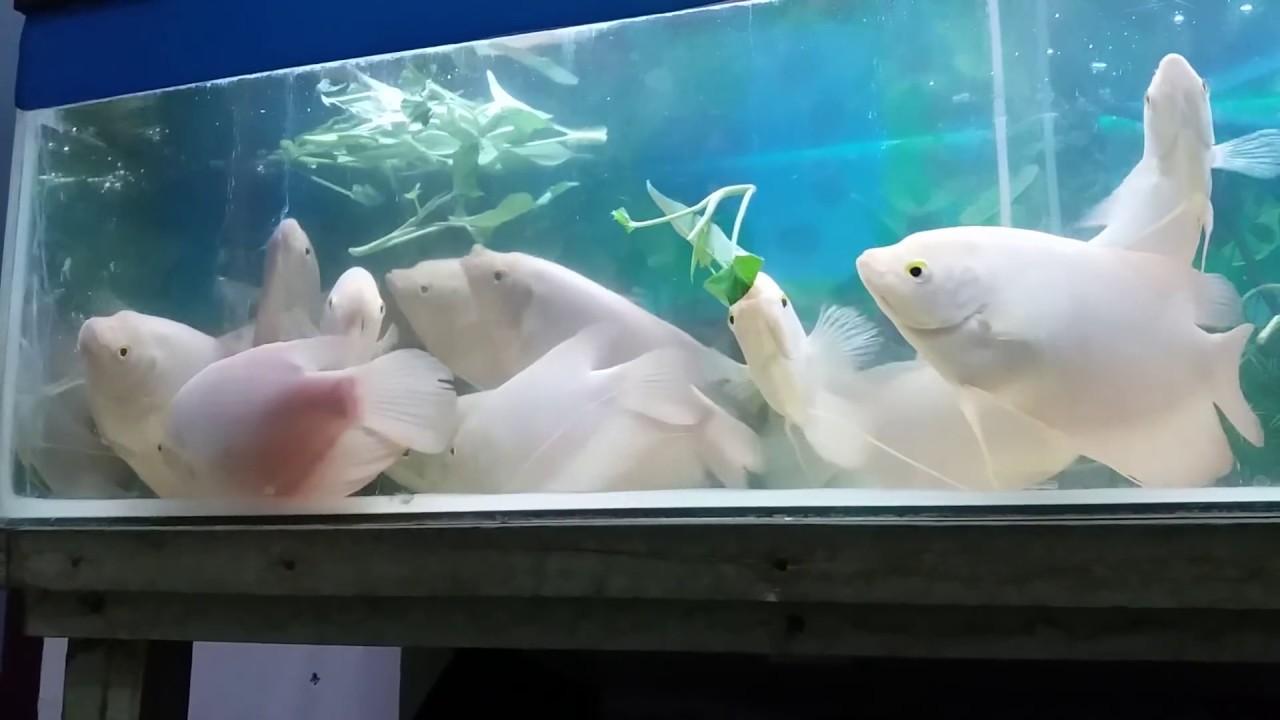 6 Cara Budidaya Ikan Gurame di Akuarium Serta Cara ...