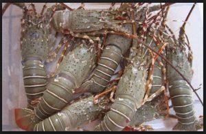 8 Cara Budidaya Lobster di Kolam Terpal Tanpa Ribet