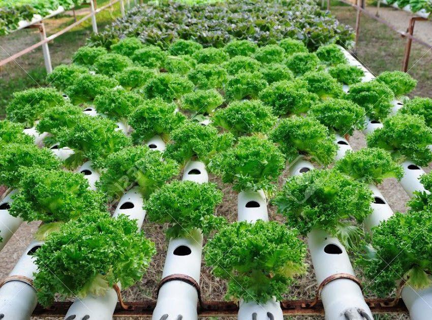 8 Cara menanam Sayur di Paralon (Metode Baru dab Mudah)