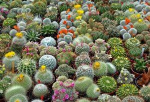 6 Cara Merawat Tanaman Kaktus Dan Jenisnya Ilmubudidaya Com