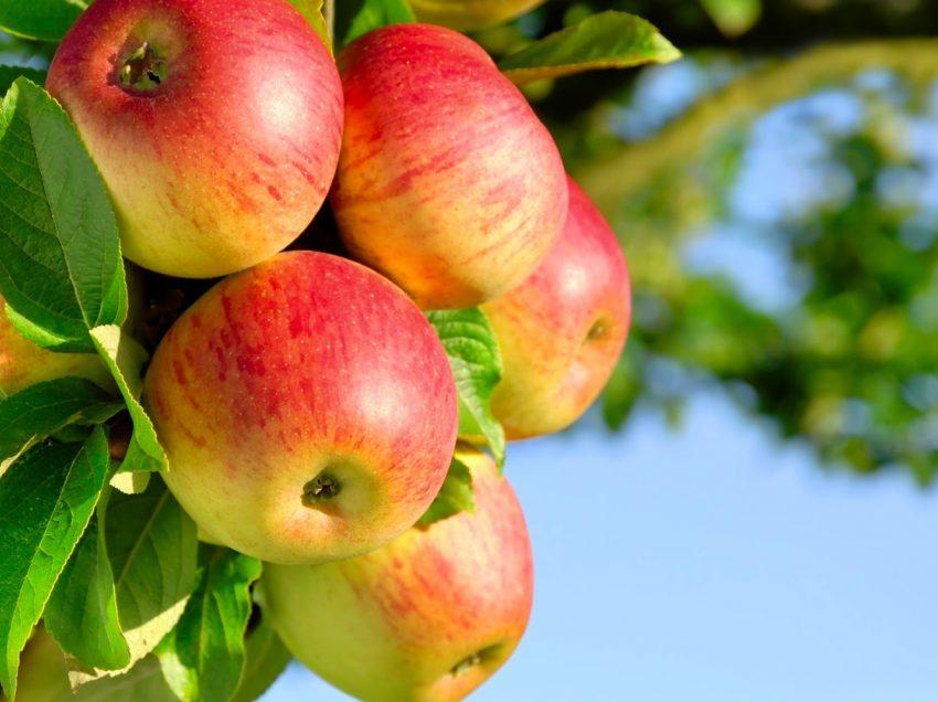 8 Cara Merawat Pohon Apel Agar Cepat Berbuah