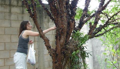 5 Cara Merawat Anggur Brazil Agar Cepat Berbuah
