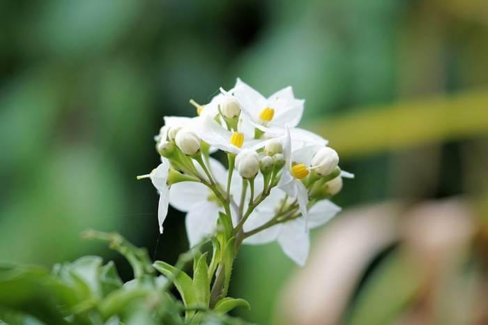 5 Cara Merawat Bunga Melati Agar Cepat Berbunga dengan Mudah