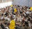 5 Tips Sukses Budidaya Ayam Kampung Untuk Pemula