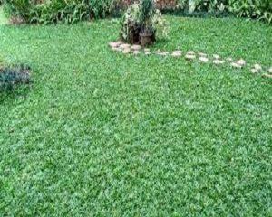 jenis pupuk untuk rumput gjah mini