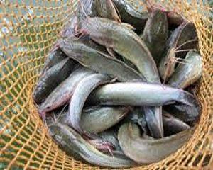 930 Koleksi Gambar Binatang Ikan Lele Gratis Terbaik