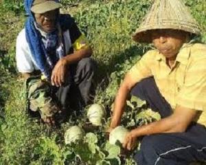 Tumpang Sari Tanaman Melon dan Cabe – Cara Menanam dan Metode