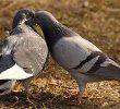 7 Cara Budidaya Burung Merpati Pedaging