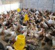 Cara Budidaya Ayam Joper – Tips dan Trik untuk Bisnis yang Menguntungkan
