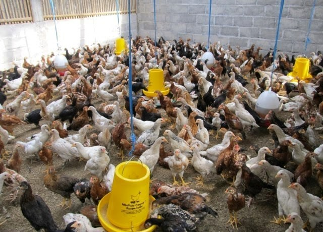 700+ Cara Membuat Gambar Hewan Ayam Terbaik