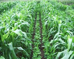 6 Cara Tumpang Sari Jagung dan Kacang Tanah dengan Tips Mudah