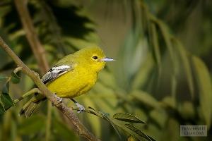 7 Cara Budidaya Burung Cipoh Bagi Pemula
