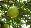 4 Cara Membuat Pupuk Organik dari Buah Maja yang Wajib Anda Tahu