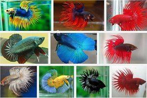 70+ Gambar Hewan Ikan Cupang Gratis Terbaik