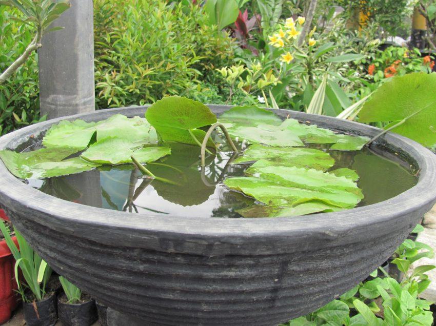 Mudah! Cara Menanam Bunga Teratai di Dalam Pot!