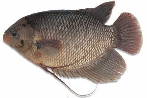 Cara Budidaya Ikan Gurame dari Larva - Mudah Bagi Pemula ...