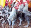 Cara Budidaya Ayam Jawa Super Bagi Pemula – Ide Bisnis Baru