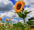 9 Cara Merawat Bunga Matahari Agar Cepat Berbunga