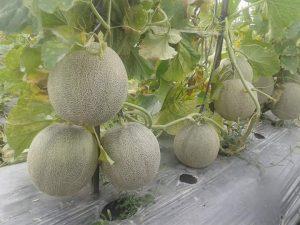 Cara Merawat Tanaman Melon di Musim Hujan