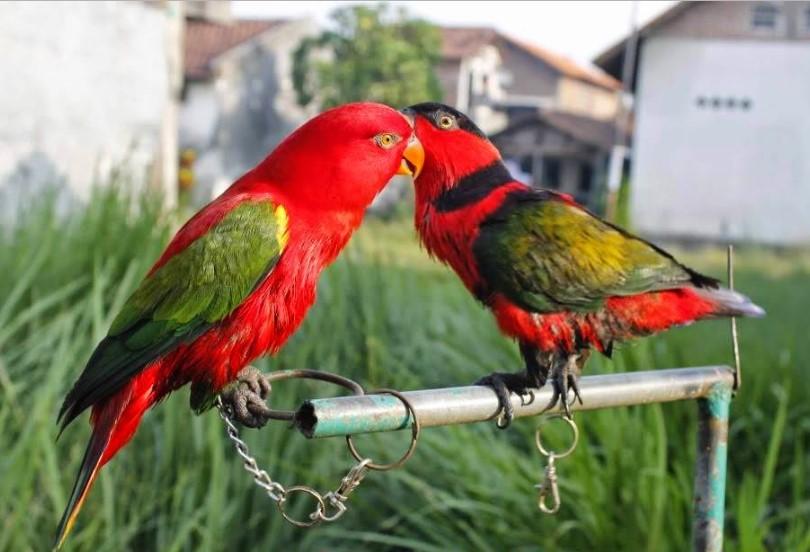 Cara Budidaya Burung Nuri Bayan – Perawatan – Anakan Burung