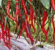 4 Jenis Pupuk untuk Tanaman Cabai Agar Tumbuh dan Berbuah dengan Baik