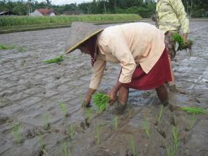 Cara Menanam Padi yang Baik dan Menguntungkan Bagi Para Petani di Desa