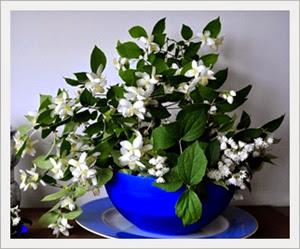 8 Cara Merawat Bunga Melati Mini dalam Pot Agar Cepat Berbunga