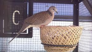 Cara Budidaya Burung Tekukur