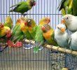 Cara Budidaya Burung Lovebird Koloni – Perawatan dan Anakan