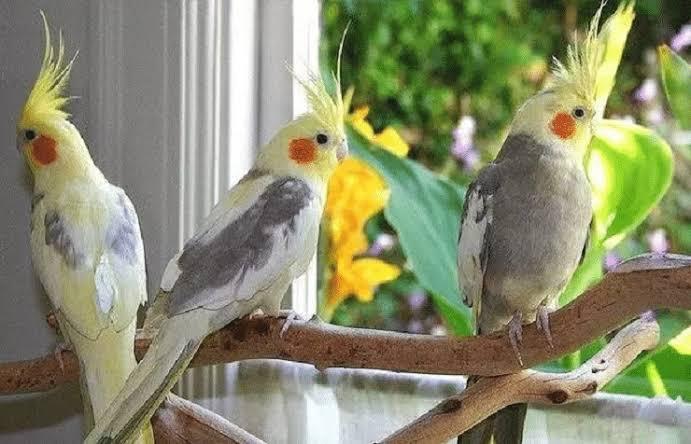 Cara Budidaya Burung Falk – Perawatan Sampai Bertelur