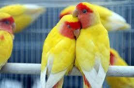 Cara Buddiaya Burung Lovebird Lutino – Perawatan sampai Proses Anakan