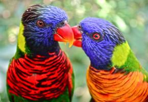 Cara Budidaya Burung Nuri Pelangi
