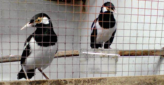 6 Cara Budidaya Burung Jalak Suren Untuk Pemula
