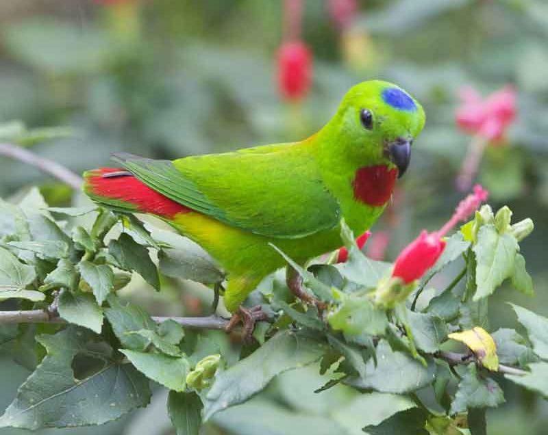 Tips Cara Budidaya Burung Serindit Agar Tumbuh Sehat