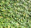 Beginilah Cara Menanam Ficus Pumila yang Baik dan Benar