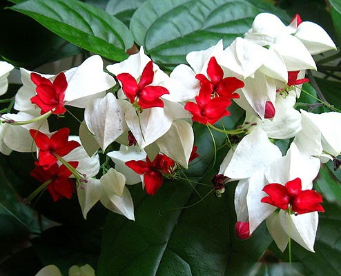 9 Cara Merawat Bunga Nona Makan Sirih Agar Selalu Subur