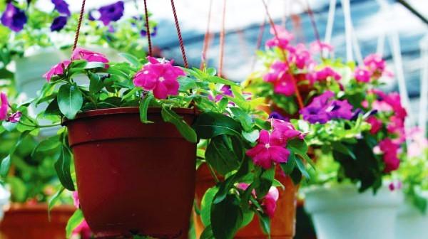 Cara Menanam Bunga Vinca dari Batang Beserta Perawatannya